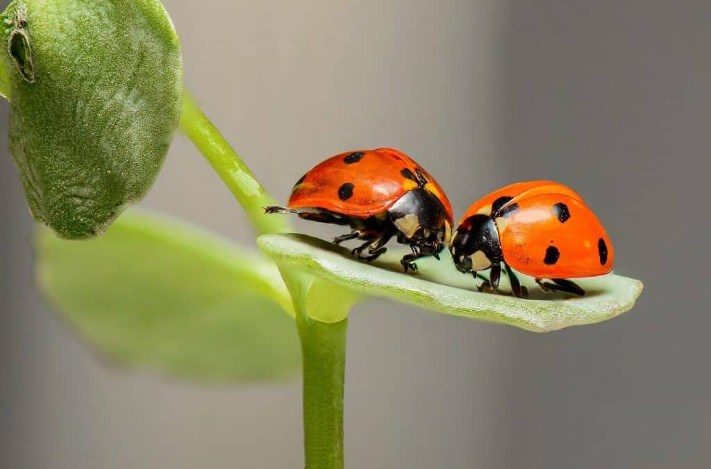 ladybugs-true-love