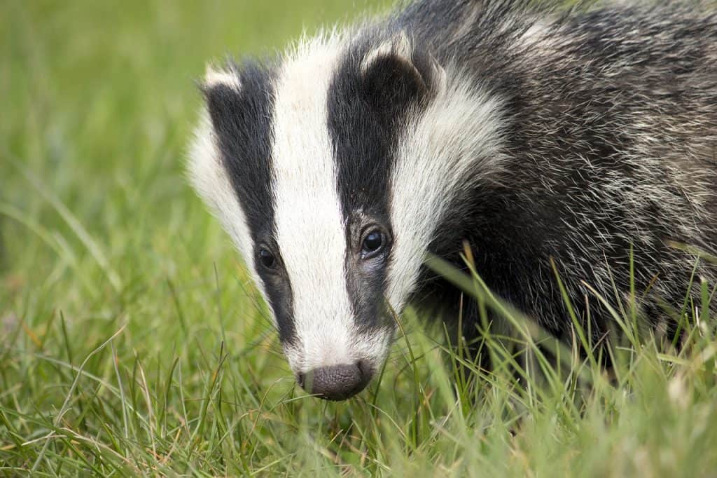 badger-spirit-animal