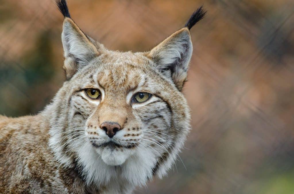 bobcat-spirit-animal