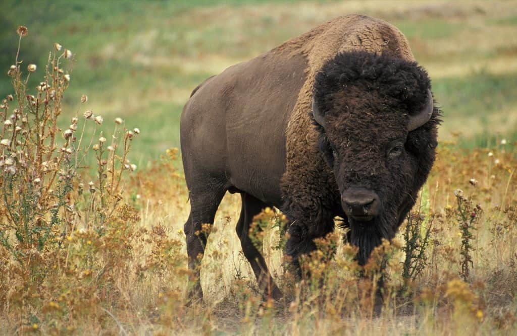 buffalo-spirit-animal