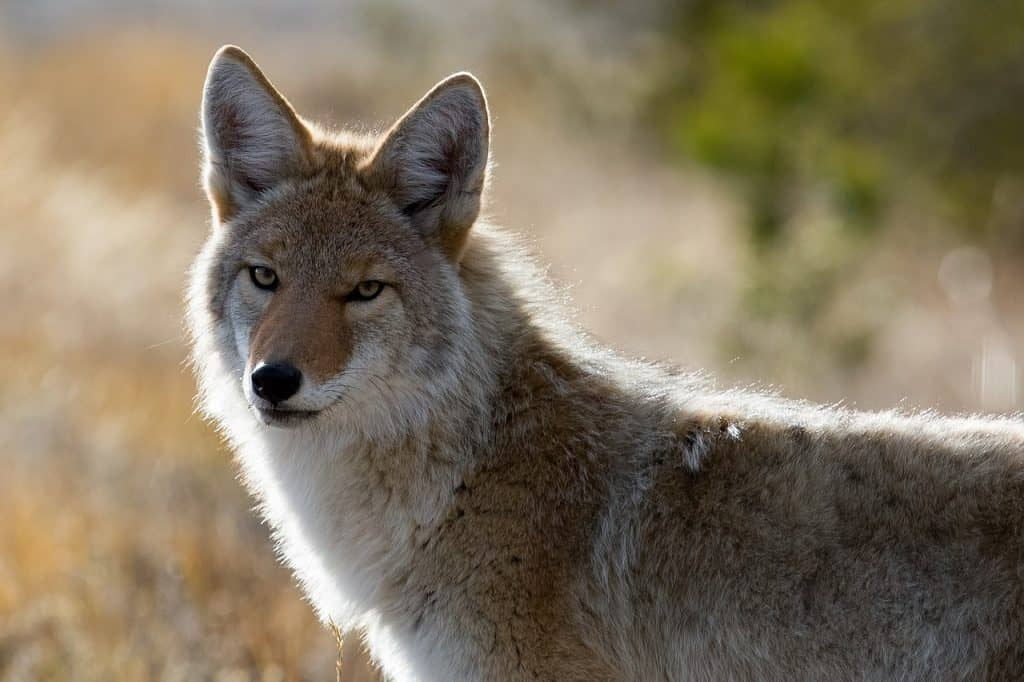 coyote-spirit-animal
