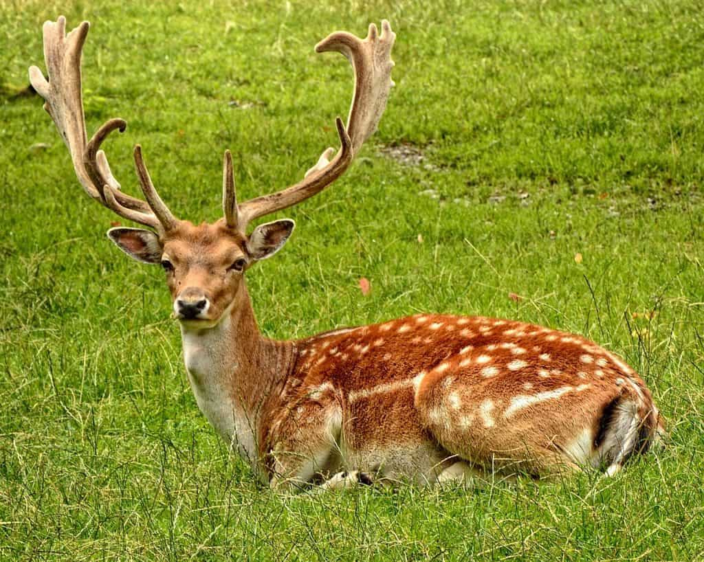 the-deer-spirit-animal