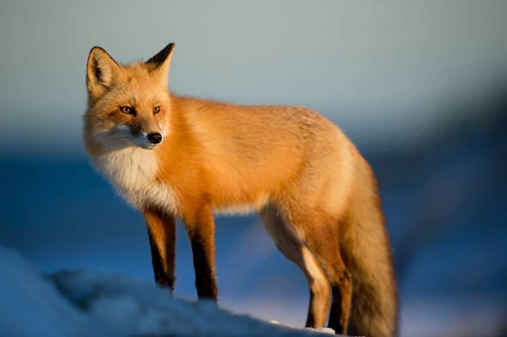 fox-spirit-animal