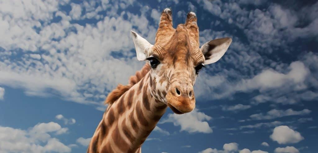 giraffe-spirit-animal