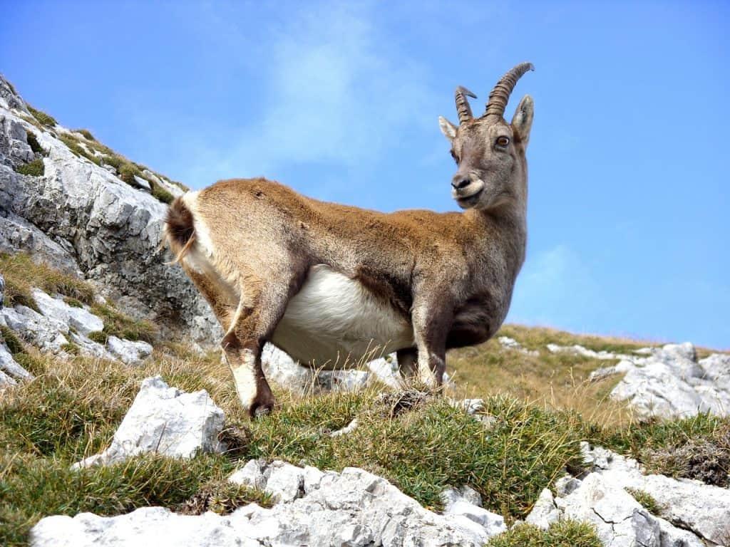 goat-spirit-animal