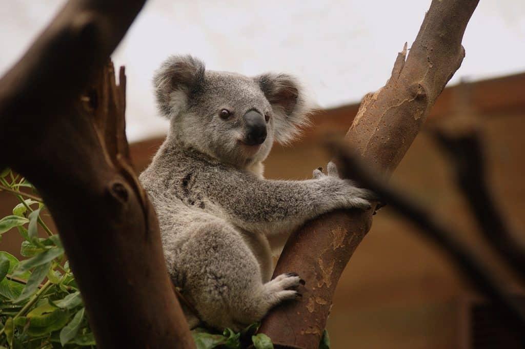 koala-spirit-animal