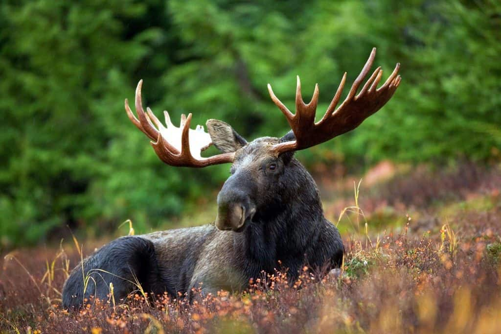moose-spirit-animal