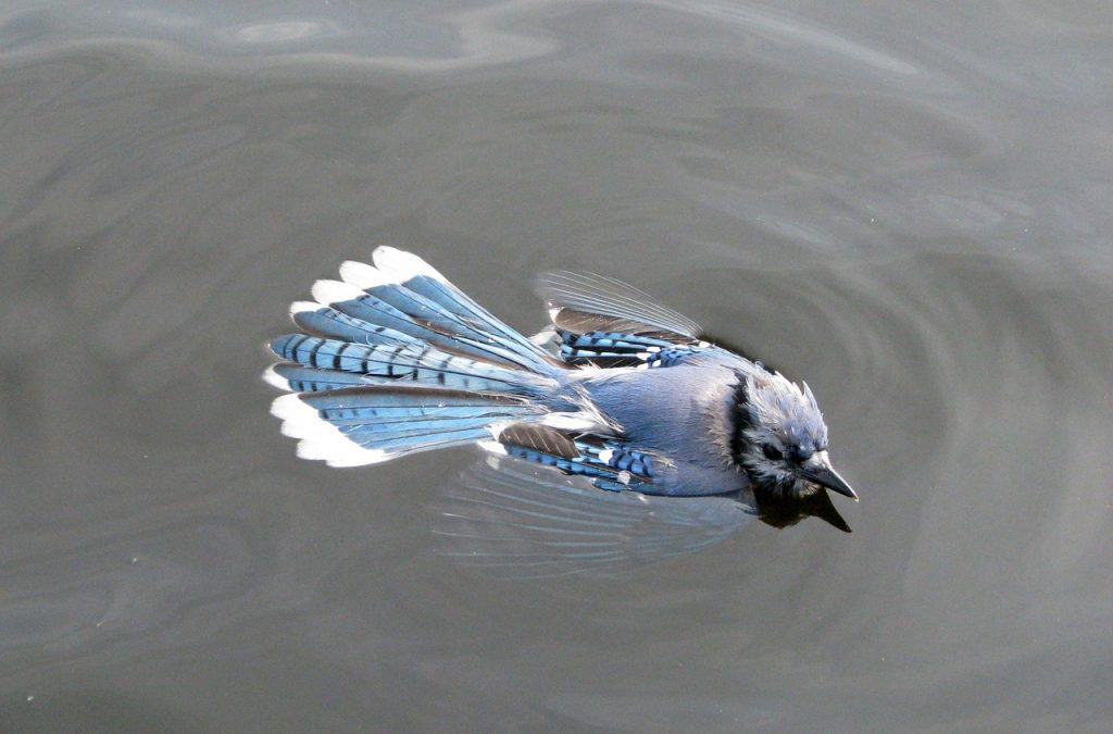 The BLUE JAY SPIRIT ANIMAL Spirit Animal Guide (Meanings & Symbolism)