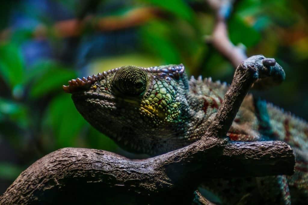 chameleon-spirit-animal