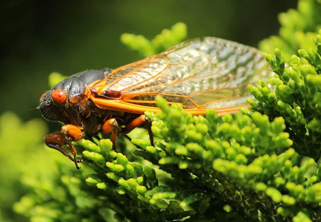 The CICADA SPIRIT ANIMAL Ultimate Guide (Meanings & Symbolism)