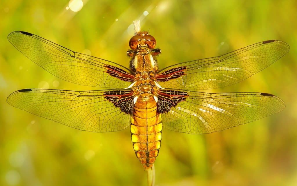 dragonfly-spirit-animal