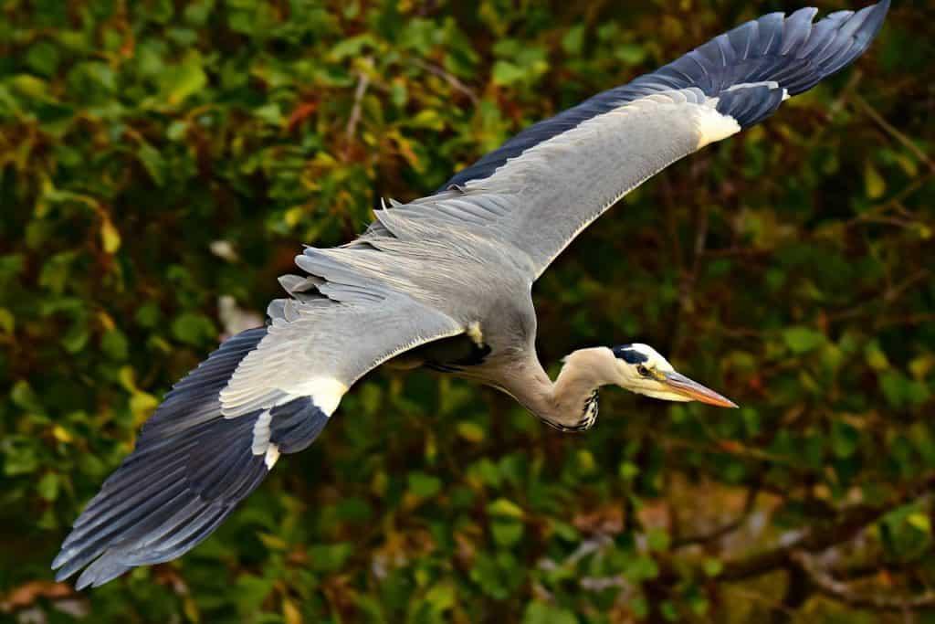 heron-spirit-animal