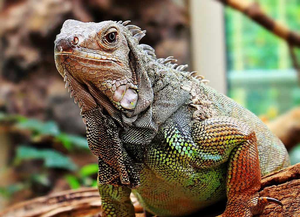iguana-spirit-animal