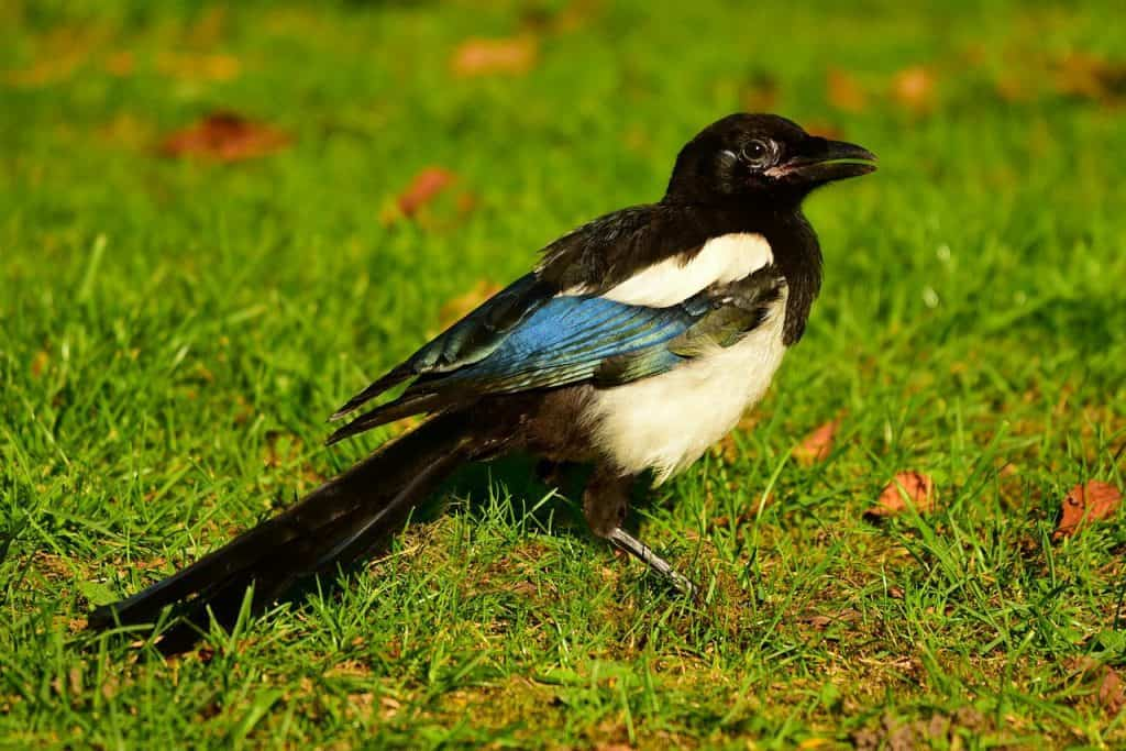 The Magpie Spirit Animal Ultimate Guide Meanings Symbolism