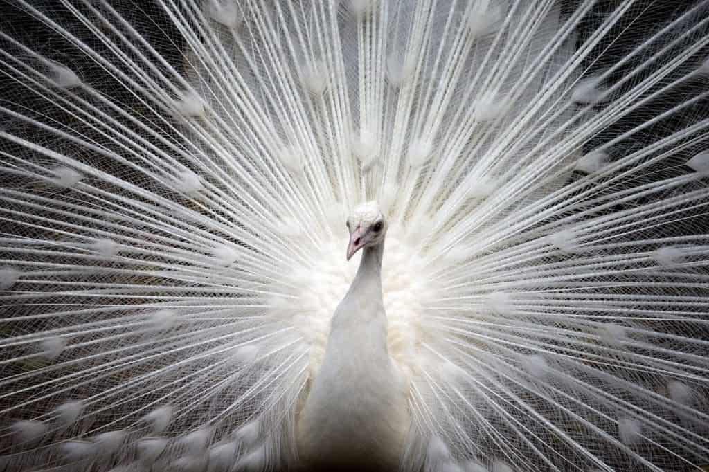 peacock-spirit-animal