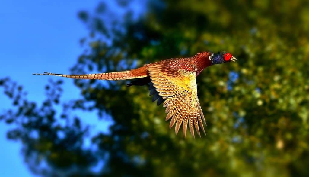 pheasant-spirit-animal