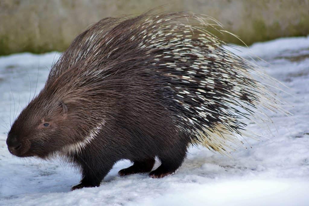 porcupine-spirit-animal