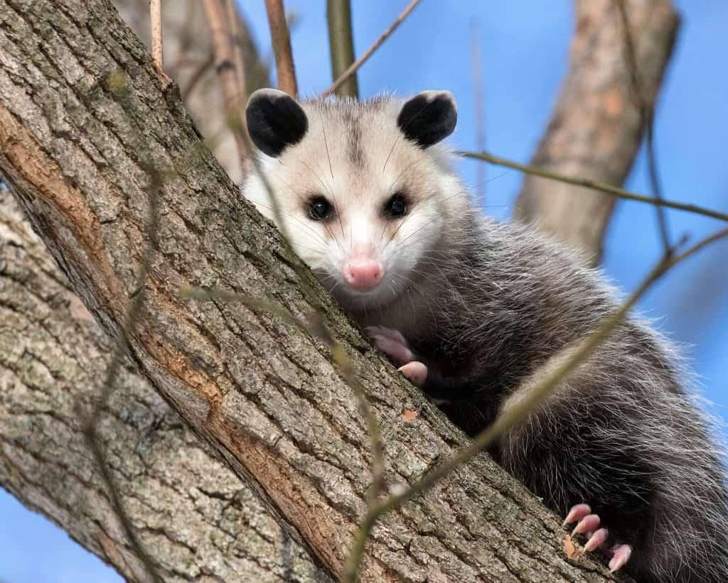 possum-spirit-animal