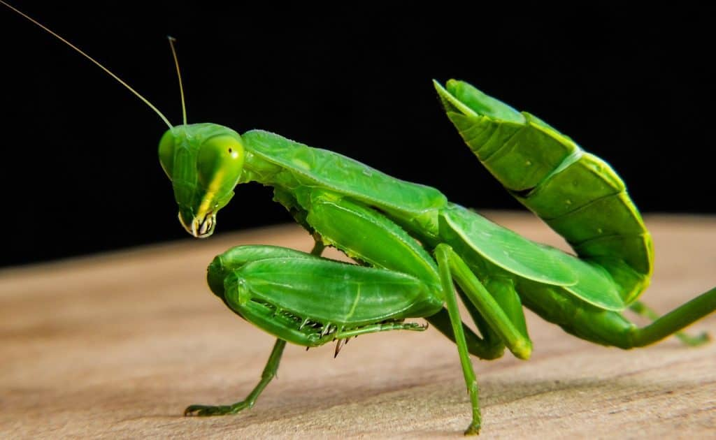 praying-mantis-spirit-animal