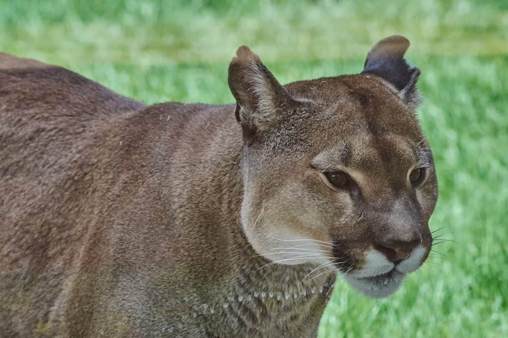 The PUMA SPIRIT ANIMAL Ultimate Guide (Meanings & Symbolism)