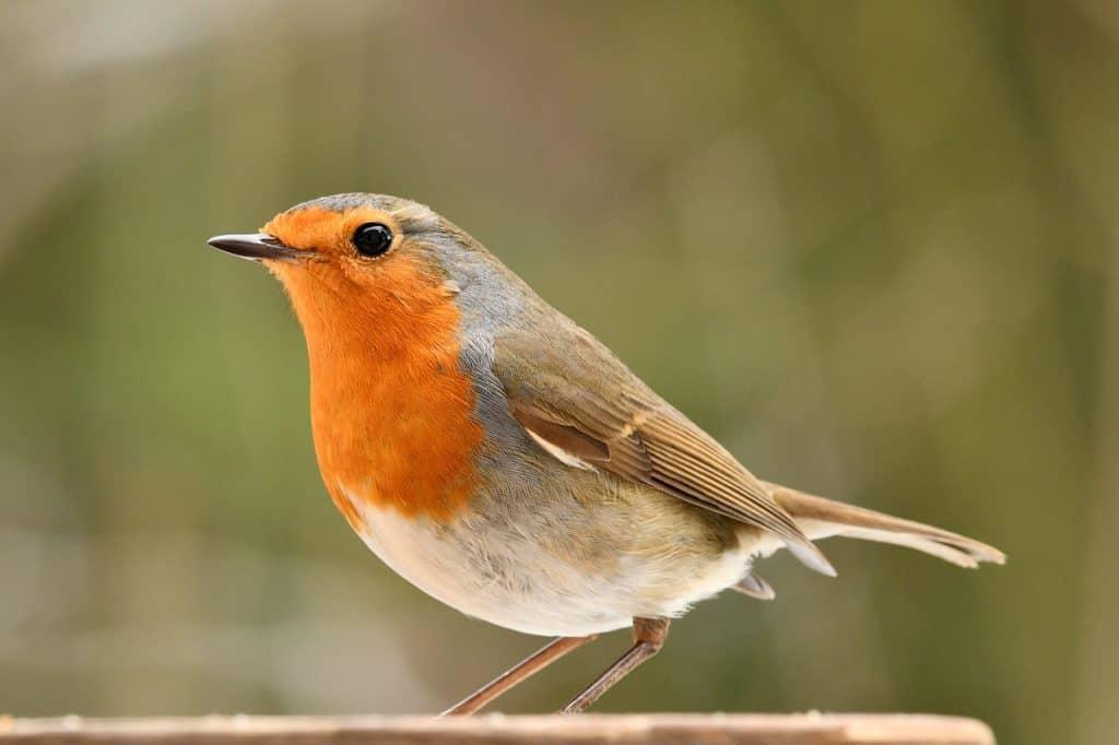 robin-spirit-animal