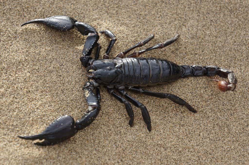 scorpion-spirit-animal