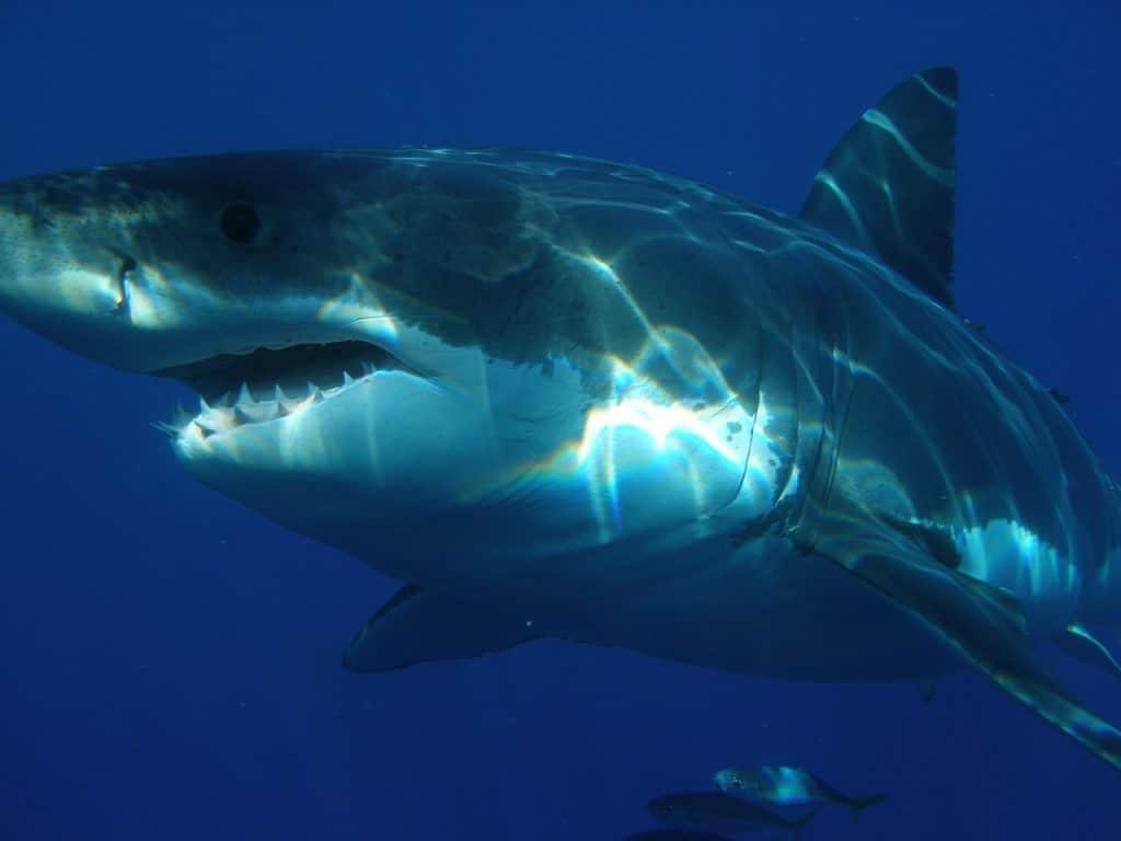 shark-spirit-animal