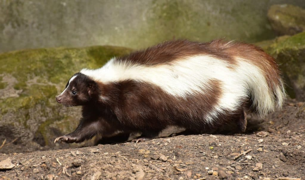 skunk-spirit-animal
