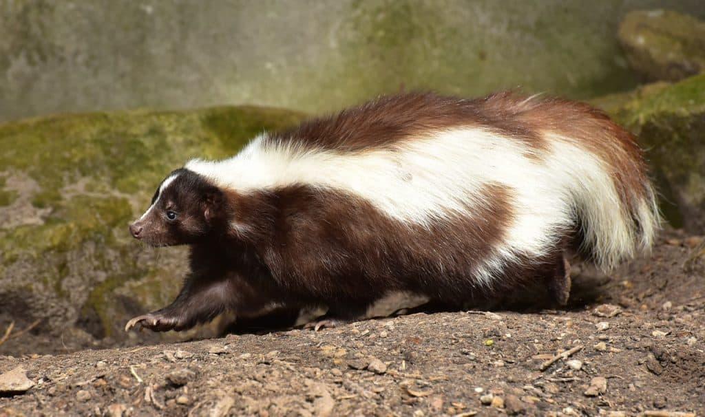skunk-spirit-animal