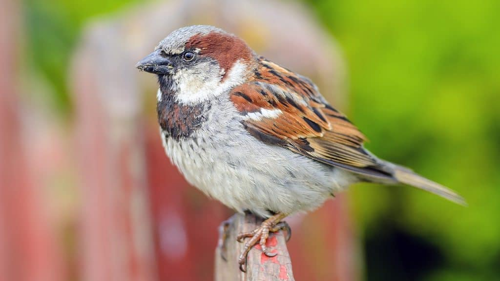 sparrow-spirit-animal