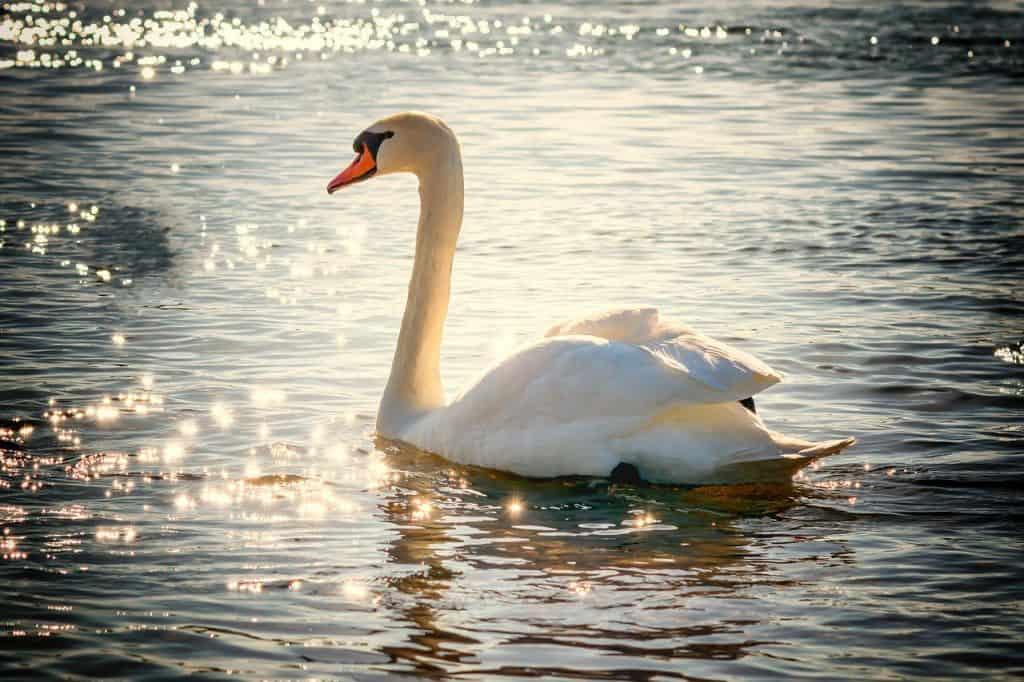 swan-spirit-animal