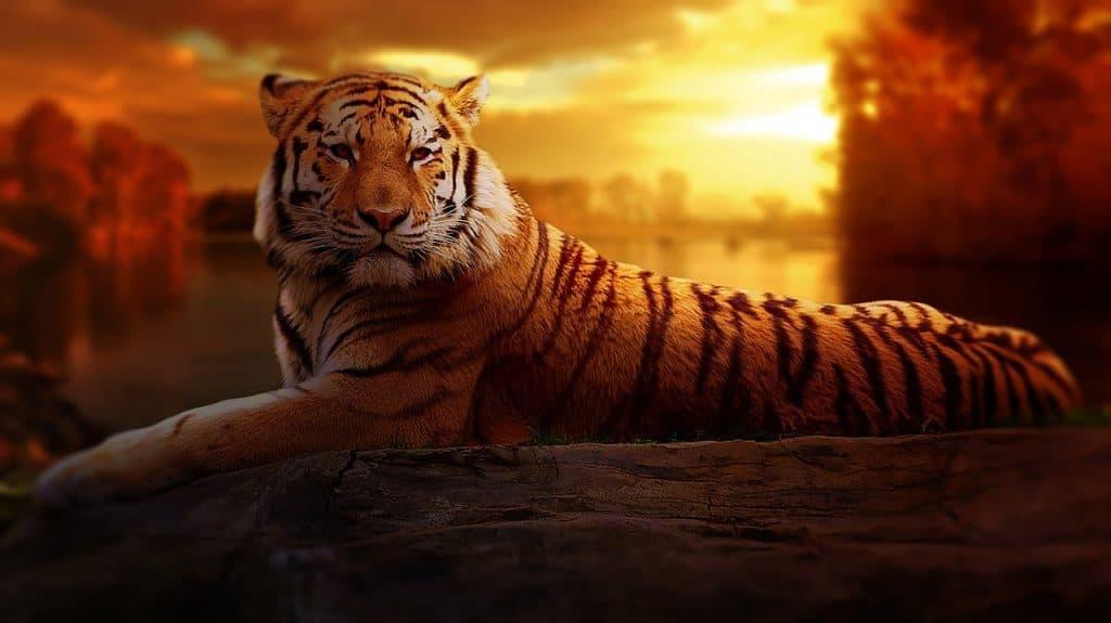 tiger-spirit-animal