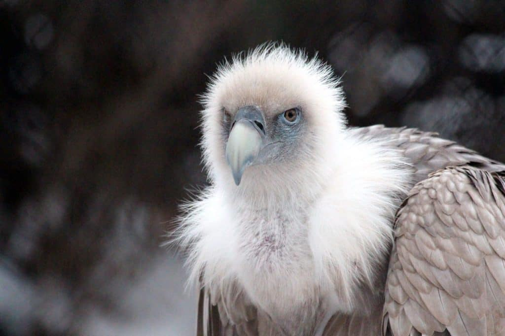 vulture-spirit-animal