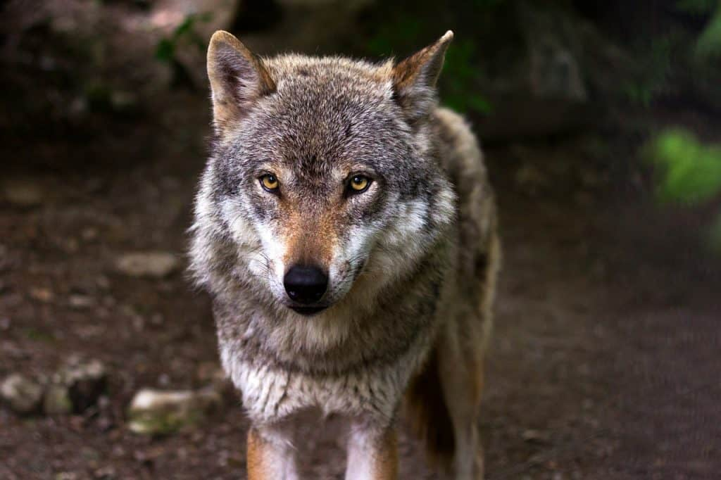 The WOLF SPIRIT ANIMAL Guide (Meanings & Symbolism)