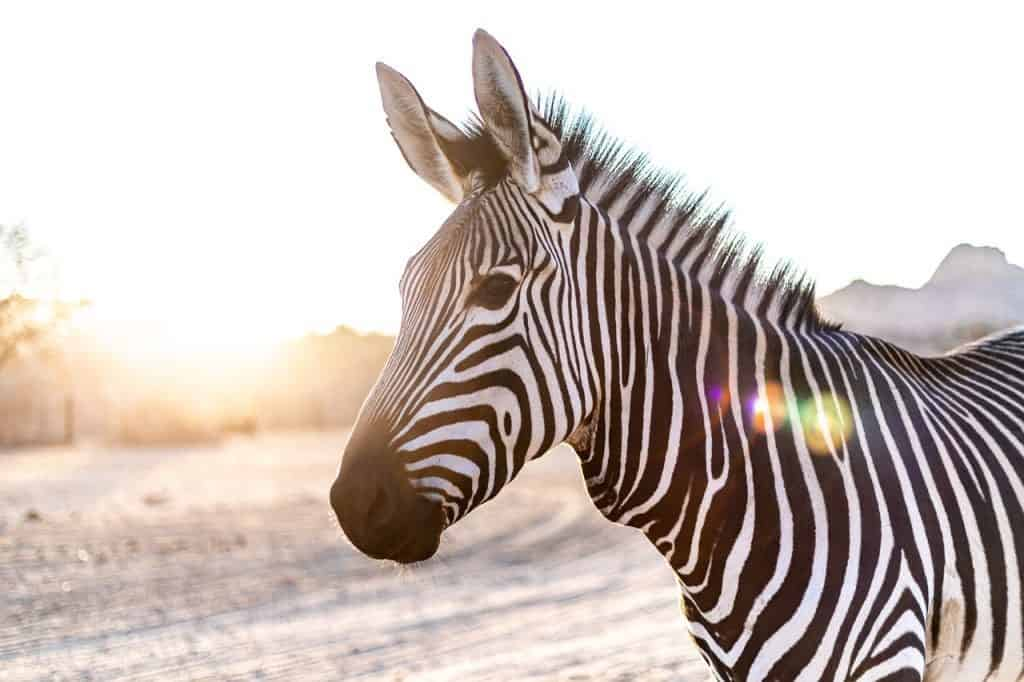 zebra-spirit-animal