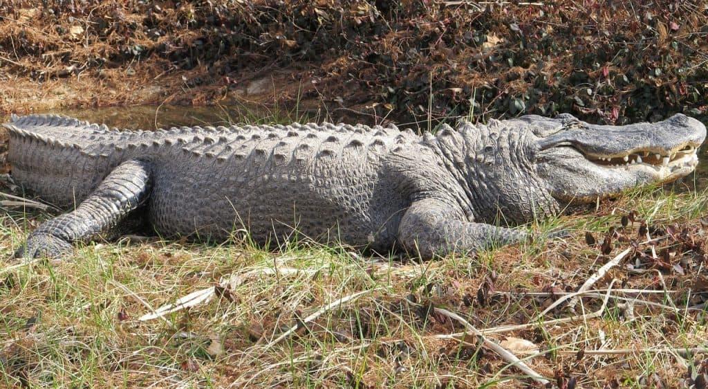 alligator-dream-meaning