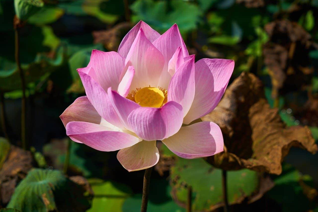 angelic-lotus-flower