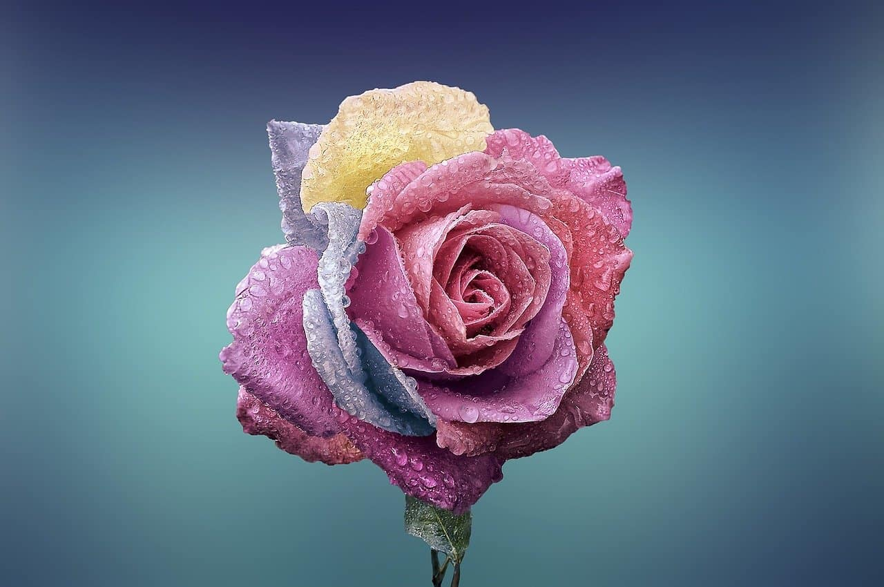 rose-love
